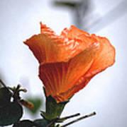 Orange Hibiscus Lax 2 Art Print