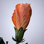 Orange Hibiscus Lax 3 Art Print