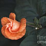 Orange Hibuscus Lax 1 Art Print