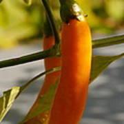 Orange Jalapeno Pepper  Art Print