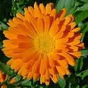 Orange Marigold Close Up With Garden Background Art Print