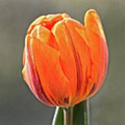 Orange Red Tulip Square Art Print