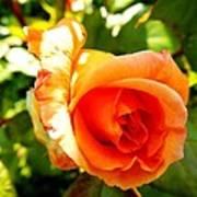 Orange Rose Bloom Art Print