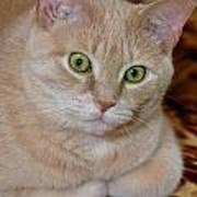 Orange Tabby Cat Poses Royally Art Print