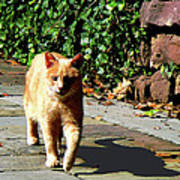 Orange Tabby Taking A Walk Art Print