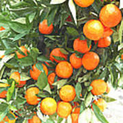 Orange Trees With Fruits On Plantation Art Print