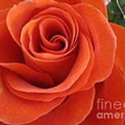 Orange Twist Rose 2 Art Print