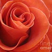 Orange Twist Rose 3 Art Print