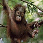 Orangutan Infant Hanging Borneo Art Print by Konrad Wothe