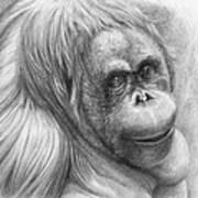Orangutan - Pongo Pygmaeus Art Print