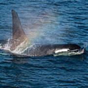 Orca Whale Surfacing Art Print