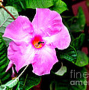 Orchard Colored Mandevilla Art Print