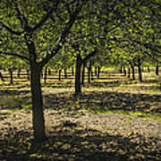 Orchard In West Michigan No. 279 Art Print