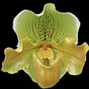 Orchid 003 Art Print