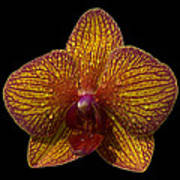 Orchid 16 Art Print