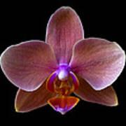 Orchid 17 Art Print
