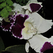 orchid 220 Cattleya Moscombe 'The King'  2 of 3 Art Print