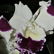 orchid 221 Cattleya Moscombe 'The King'  1 of 3 Art Print