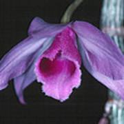 Orchid 9 Art Print