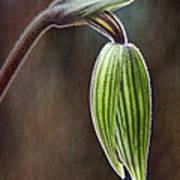 Orchid Bud Art Print