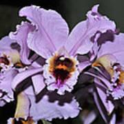 Orchid Cattleya Percivaliana Christmas Cattleya Art Print