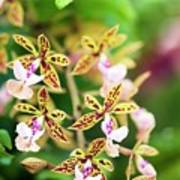 Orchid (epidendrum Stamfordianum) Art Print