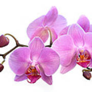 Orchid Flowers - Pink Art Print