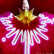 Orchid Harlequinn-pansy Orchid Art Print