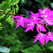 Orchid (laelia Gouldiana) Art Print