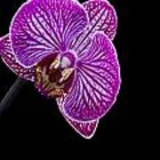 Orchid On Black Background Art Print
