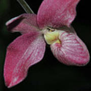 Orchid Phragmipedium Hanna Popow 2 Of 2 Art Print