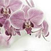 Orchid Pink Vintage Art Print
