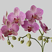 Orchid Plant On Grey Background Art Print