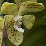 Yellow Dragon Orchid Art Print