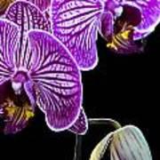 Orchids On Black Background Art Print