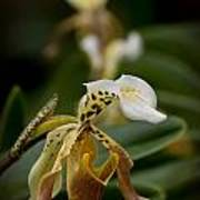 Orchids Pictures 28 Art Print