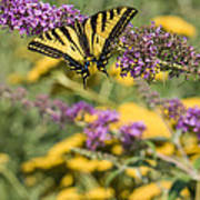 Oregon Swallowtail In The Garden  Art Print