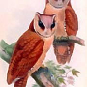 Oriental Bay Owl Art Print