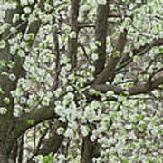 Oriental Pear Tree Art Print