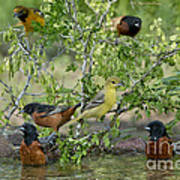 Orioles At The Pool Art Print