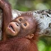 Orphan Baby Orangutan Art Print