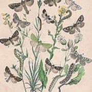 Orthosidae - Hadenidae Art Print