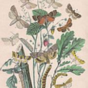 Orthosidae Art Print