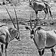 Oryx Black And White Art Print