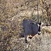 Oryx Long Horned Antelope Art Print