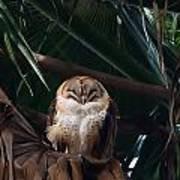 Oscar The Barn Owl Art Print