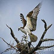 Osprey Building A New Nest Art Print