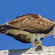 Osprey Eating Lunch Art Print