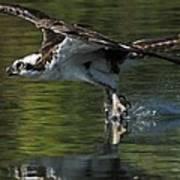 Osprey Hunter Art Print