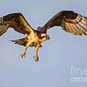 Osprey In Flight Art Print
